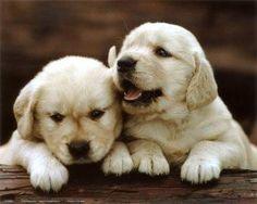 Golden Retrievers Puppies..