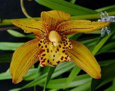 Cymbidium Golden Elf | Cymbidium (Golden Elf x iridifolium) 'H'