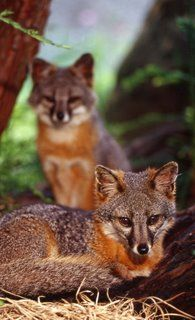 Channel Island foxes. They come up to you on the islands and play with your shoelaces!! Soooo cute.