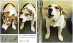 ★TO BE DESTROYED 3-31-15 ~Thor~ Breed:Beagle / Mixed (mix breed) Age: Young adult Gender: Male Shelter Information: Elizabethton Carter County Animal Shelter 135 Sycamore Shoals Dr Elizabethton, TN Shelter dog ID: D2014583 Contacts: Phone: 423-547-6359 Name: April Jones email: animalshelter@cartercountytn.gov About Thor: