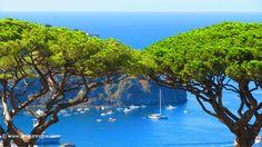 Pine Trees in Casamicciola, Ischia