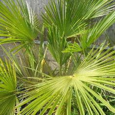 Create a breathtaking and exotic tropical plant filled garden that will survive the UK climate. Shade Shrubs, Shade Trees, Shade Plants, Tropical Plants Uk, Small Tropical Gardens, Evergreen Ferns, Evergreen Garden, Garden Border Plants, Garden Shrubs
