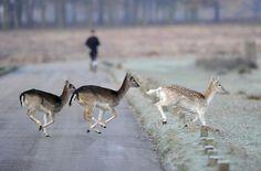 Deer run across the road as a man jogs through Richmond Park in south west London November 28, 2010. REUTERS/Paul Hackett