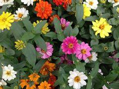 Colorful Zinnias!