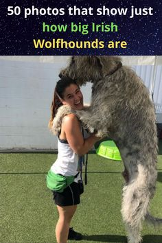 They are huge, hairy, gentle, look like elders from a temple, and most importantly, they're one of the best doggos in the universe – they're the Irish Wolfhounds! Irish Wolfhounds are a dignified and elegant dog breed that love to be lavished with attention from anyone. Here are 50 photos that show just how big and cuddly these gentle giants are!