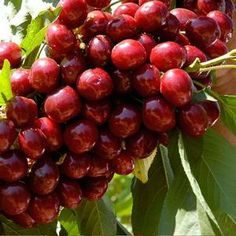 Lapin Cherry: A big, beautiful, dark mahogony red cherry. These are some of the largest and juiciest cherries that grow on trees. Wonderful for baking or cooking. Highly resistant to browning. Hardy to zone 4b and the southern regions of Zone 4. From E.C. Brown's Nursery
