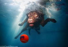 Titus, a 5-year old Chocolate Lab, loves to explore the world below the surface. By Seth Casteel