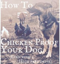 Train your dog to be chicken friendly and chicken proof | Livestock | Homesteading