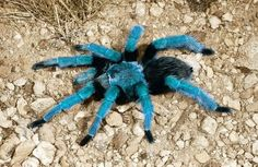 Tarantula that's blue. I changed it to blue!