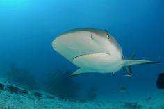 Caribbean Reef Shark | by Ocean Explorers St. Maarten