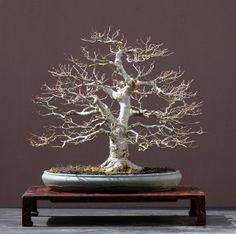 Bonsai tree... Somewhat reminiscent of a certain White Tree of Gondor. Ha. Ha.
