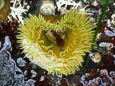 Giant Green Anemone - heart shaped