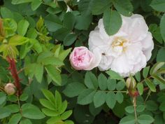 'Stanwell Perpetual', scots rose hybrid.