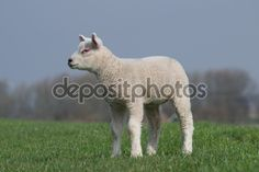 White lamb standing on green dike, staring to the left. - Stockbeeld: 74465575