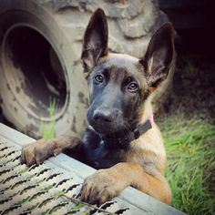 Berger Malinois, Belgian Malinois Puppies, Belgian Shepherd, German Shepherd Dogs, Belgium Malinois, Dog Whisperer, Schaefer, Military Dogs, Pets 3