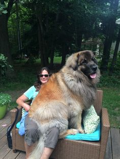 Gotta love a Leonberger! Really Big Dogs, Huge Dogs, Giant Dogs, Giant Animals, Big Animals, Funny Animals, Perro Leonberger, Big Fluffy Dogs, Big Dog Breeds
