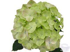 "Cut hydrangea flower ""Harmony"" (Green)"
