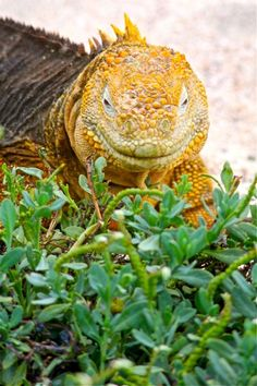Happy Iguana! Galapagos Islands. For more, visit GreenGlobalTravel.com.