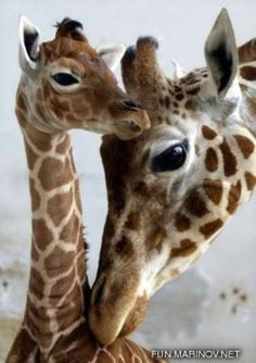 I kinda have a thing for giraffes...
