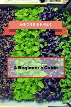Not eating–or growing–microgreens yet? Then you're missing out on a seriously easy way to increase your nutrient intake. Department of Agriculture and the Univ… garden herbs How to Grow Microgreens: A Beginner's 101 Guide