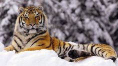 Tiger in the snow ~ how majestic he looks!!