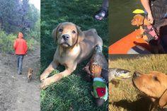 Clifford |  Fox Red Labrador | Puppy | Past Litter Teaka & Duke | Balsam Branch Kennel | Wisconsin | balsam-branch-kennel-fox-red-lab-clifford-td