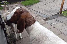 Goats are Beelzebub