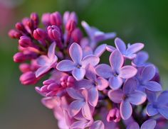 love lilac. reminds me of where i grew up...