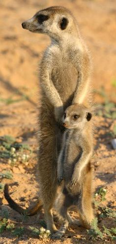 Meerkat with baby Nature Animals, Animals And Pets, Beautiful Creatures, Animals Beautiful, Cute Baby Animals, Funny Animals, Exotic Pets, Animal Photography, Pet Birds