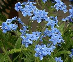 Forget Me Not Chinese Cynoglossum Amabile
