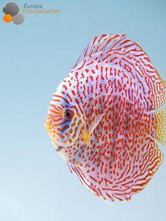 Mosaic Leopard Weibchen❤️ #discus #diskusfische #tropicalfish #aquarium #EuropaDiscusCenter #freshwateraquariums
