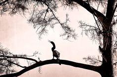 Everglades Cormorant.