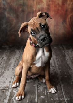 Boxer Puppy cuteness... <3 -- For Puppy Fridays from Underdog Rescue of Arizona