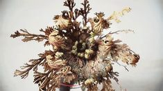 Timelapse of Dormant Rose of Jericho Plants Exploding to Life After Exposure to Water