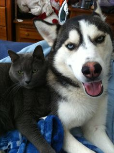 Siberian husky and Russian blue cat