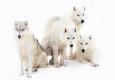 タイリクオオカミの一家(カナダ)