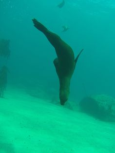 We have learnt through our dives with the Cape Fur Seals in Cape Town that when they are upside down as in this photo they are in a relaxed and placid state. V&a Waterfront, The V&a, Underwater World, Cape Town, Snorkeling, Scuba Diving, Seals, Boat, Fur