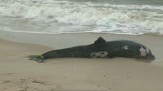 Dolphins dying by the dozens along East Coast