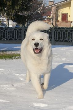 Maremma Sheepdog (Cane da Pastore Maremmano-Abruzzese).............I have also one Maremma Sheepdog, Top Dog Breeds, Great Pyrenees Dog, Hachiko, Bear Pictures, White Dogs, Mountain Dogs, Working Dogs, Mans Best Friend