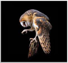 Barn owl Pinned by www.myowlbarn.com