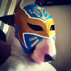 The next big thing...Bowser the English Bull Terrier goes Mexican. #luchalibre #bullterrier