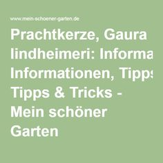 Prachtkerze, Gaura lindheimeri: Informationen, Tipps & Tricks - Mein schöner Garten Ficus, Papaver Orientale, Math Equations, Figs, Gardening, Nice Asses, Fig Tree, Fig, Ficus Tree