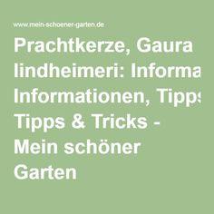 Prachtkerze, Gaura lindheimeri: Informationen, Tipps & Tricks - Mein schöner Garten