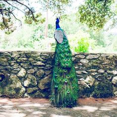 Enjoy a peaceful day at Mayfield Park  Mayfield Park provides a perfect escape from the busy city with its calm and serene surroundings. Dont miss to take pictures of the peacocks roaming freely around the park  its the closest encounter youll ever get with these majestic birds! There are also trails where you can go through the woods as well as down to the water. Other highlights in the park include a mini pond short trail and a few picnic tables in case you just want to pass some time. And…