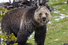 Grizzly Bear at Roaring Mountain in Yellowstone National Park, Wyoming_ Western USA