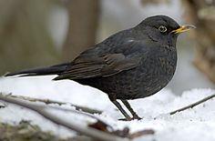 Mustarastas. Kuva: Pekka Nurminen Backyard Birds, Little Birds, Bird Houses, Pretty Little, Finland, Cool Photos, Cute Animals, Blackbirds, Nature