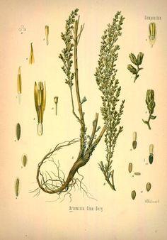 Wurmsamen, Artemisia cina