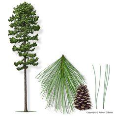 Evergreen Tree Tattoo Shrubs 22 Ideas For 2019 Pine Tattoo, Tattoo Tree, Pine Tree Art, Birch Tree Art, Evergreen Tree Tattoo, Evergreen Trees, Traditional Tattoo Flowers, Celtic Tree Of Life, Unique Trees
