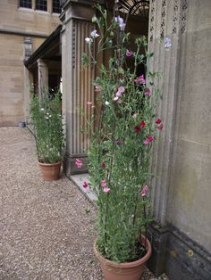 Sweet pea towers instead of pedestals or bay trees, perfect for a relaxed wedding in late spring or early summer