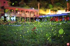 北市打造「夜光計畫」 螢火蟲將在大安森林公園現蹤 - The News Lens 關鍵評論網